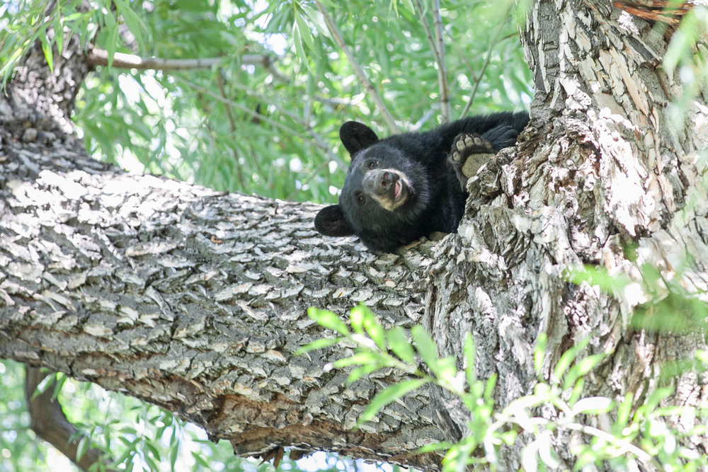 Yearling bear on the University of Colorado, Boulder campus