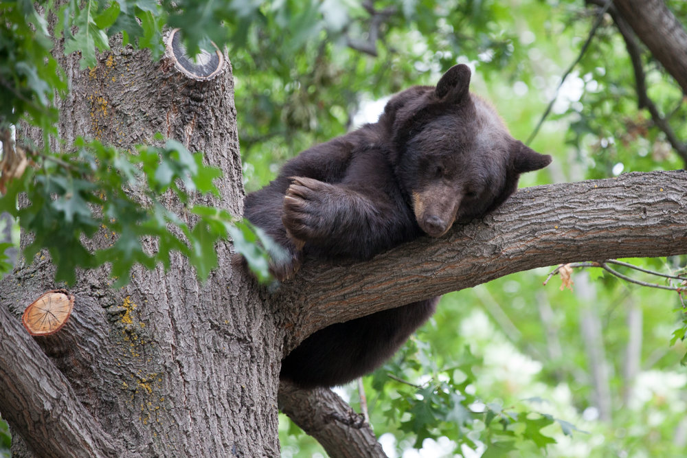 Chautauqua neighborhood bear