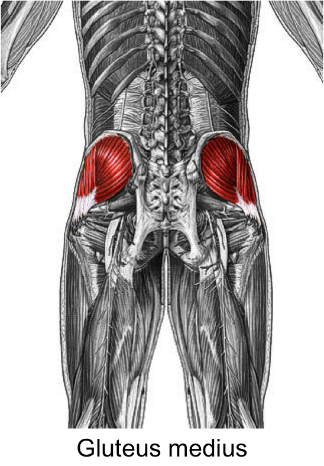 Glutes.png