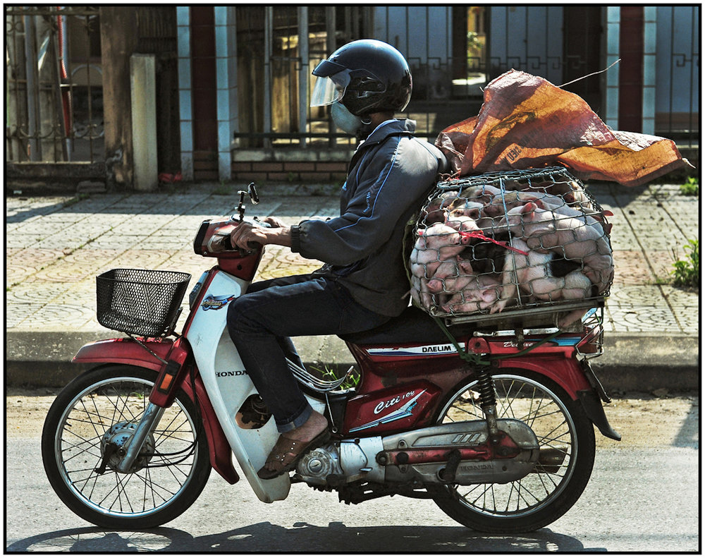 Piglets to market, Route 1, north of Hue, Vietnam, March 2015. #7256