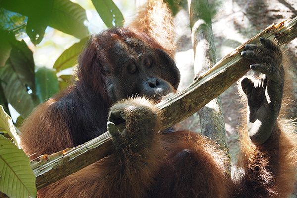 Gunung Palung Orangutan Conservation - Grant Amount: $30,000Grant Year: 2017 Project: Protecting the future of orangutans in Borneo.