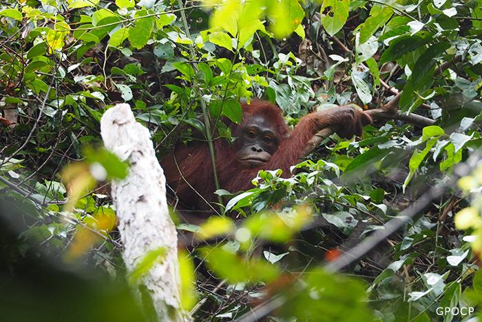 Rossa,-orangutan-in-Gunung-Palung-National-Park-700x467px.jpg