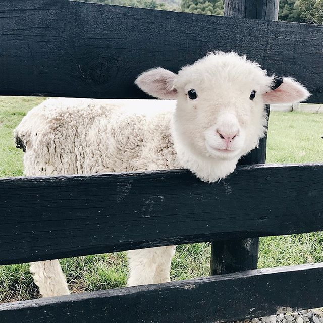 We visited Sheepworld during our time in NZ last year and as well as being the cutest day ever (baby humans and baby animals, oh my!) it was also really educational and so great to see and hear about the sustainable practices of sheep farming and the many environmental benefits of using wool 🐑  natural fibers   man made fibers