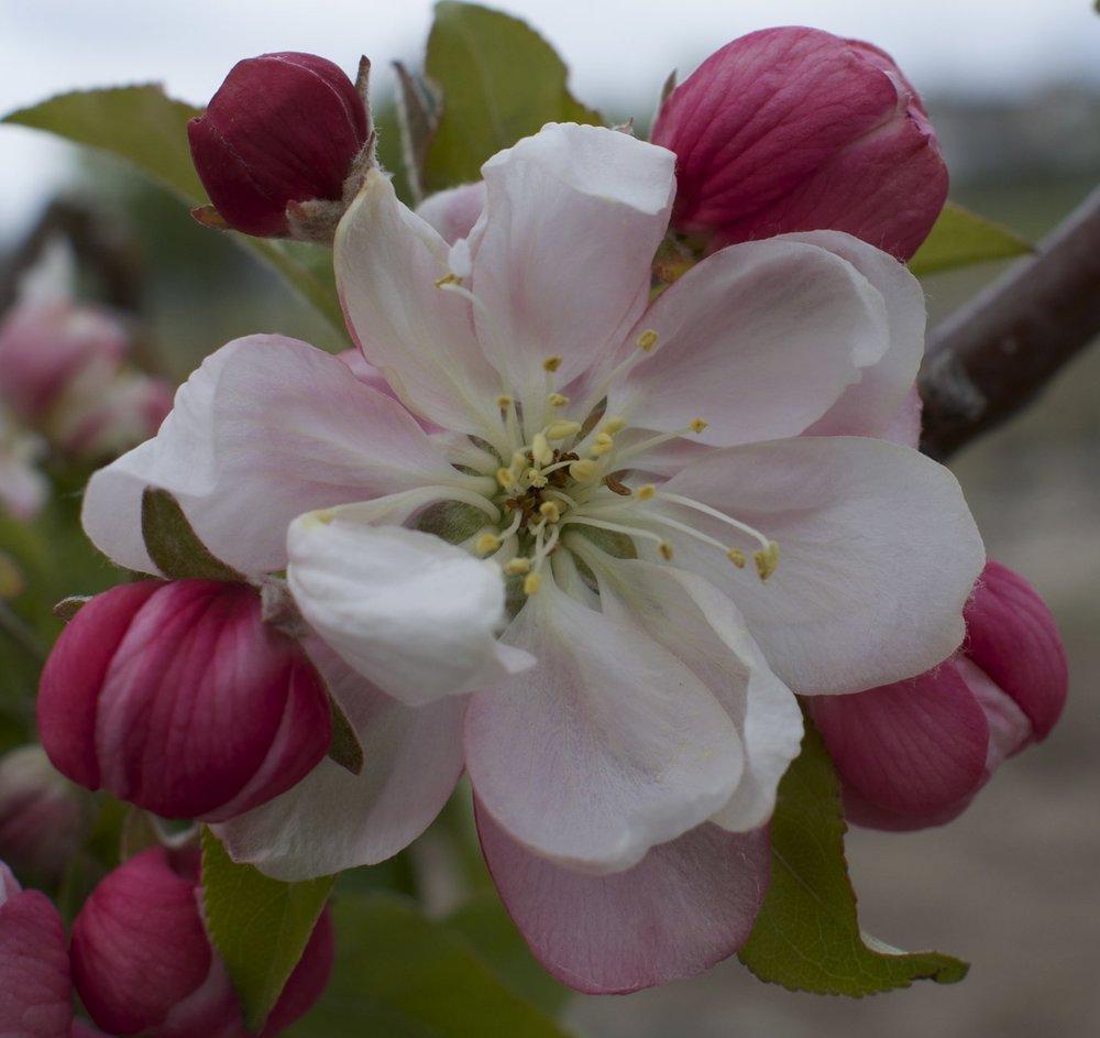 Marilee Crabapple Zollinger Fruit And Tree Farm