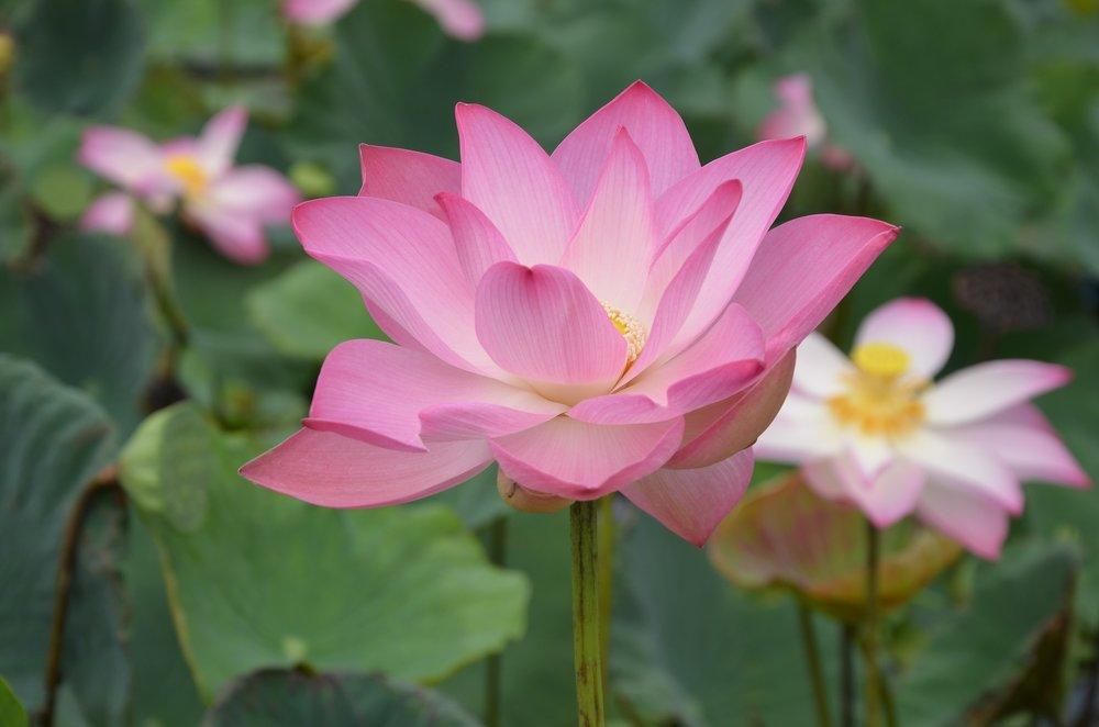 lotus-3562945_1920.jpg