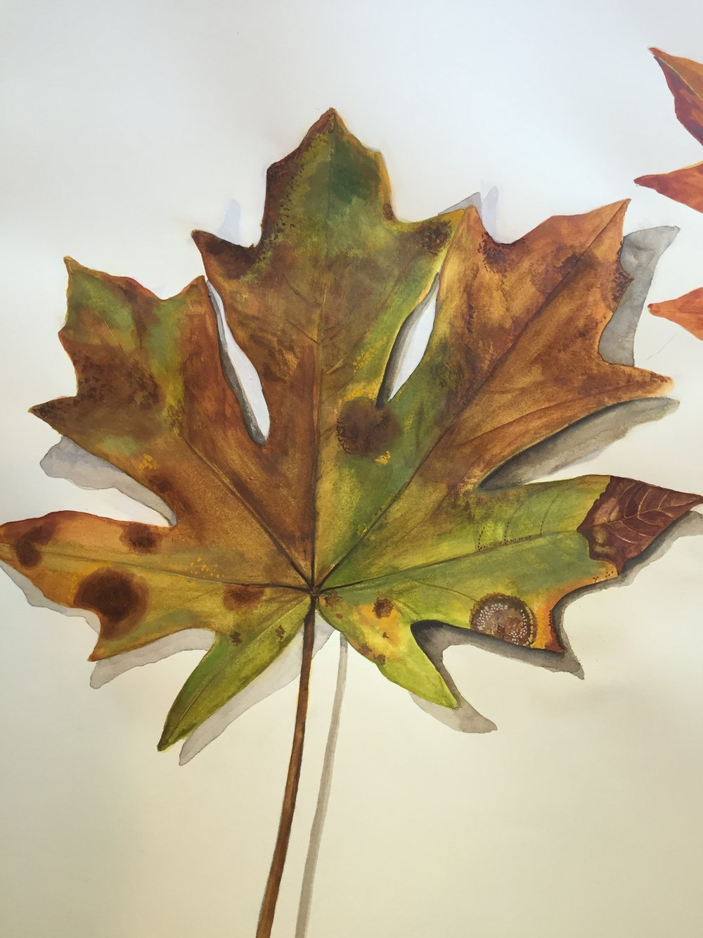 Big Leaf Maple Detail