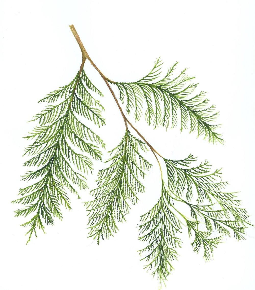 Red Cedar Branch