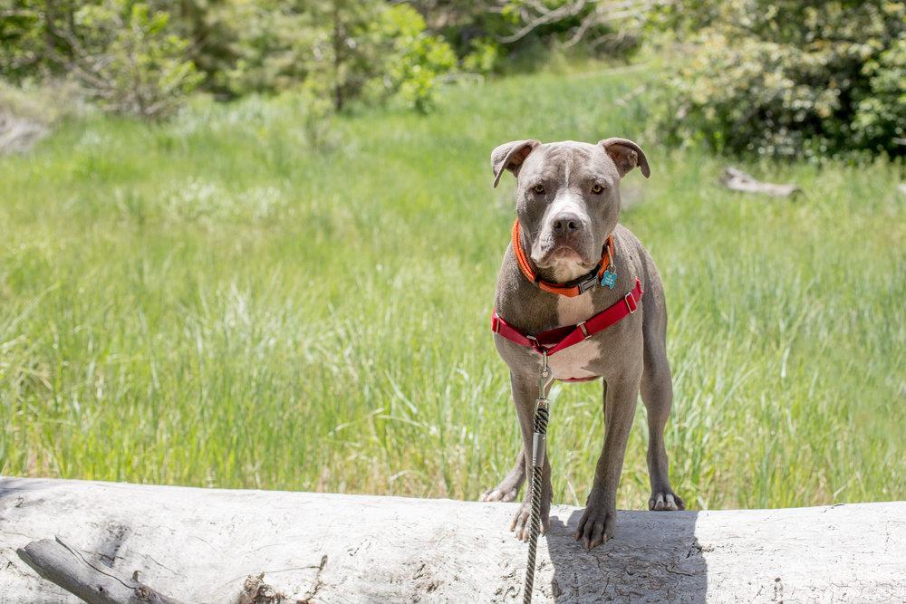 lake-tahoe-reno-dog-canine-photographer-photography-session-portrait-pets-portraits-studio-pit-pitbull-pitties-adventure
