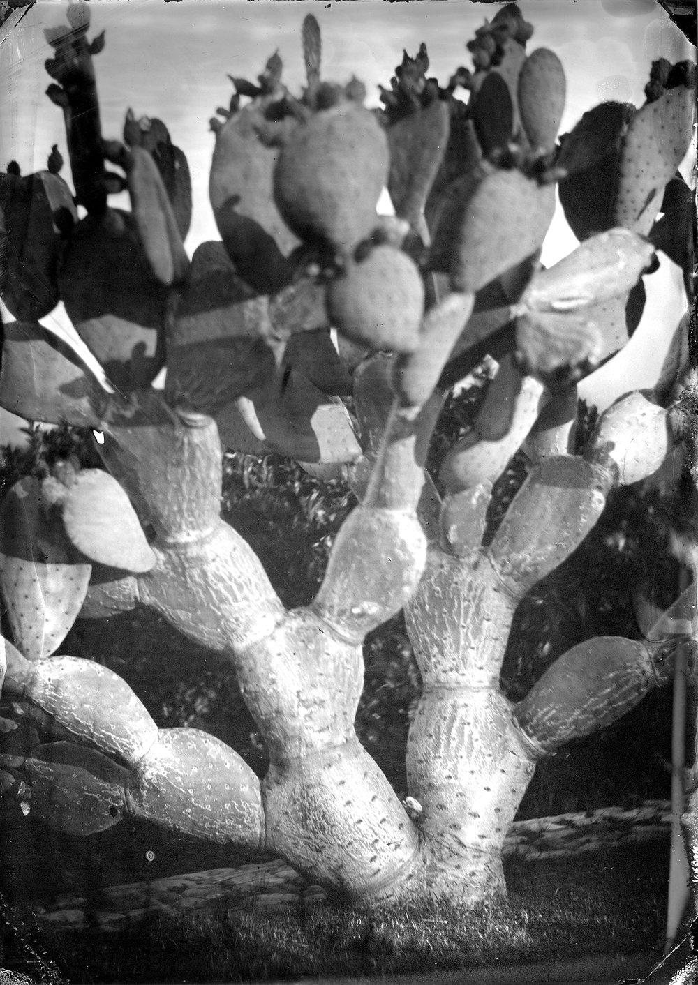Cactus at Dusk, Montecito