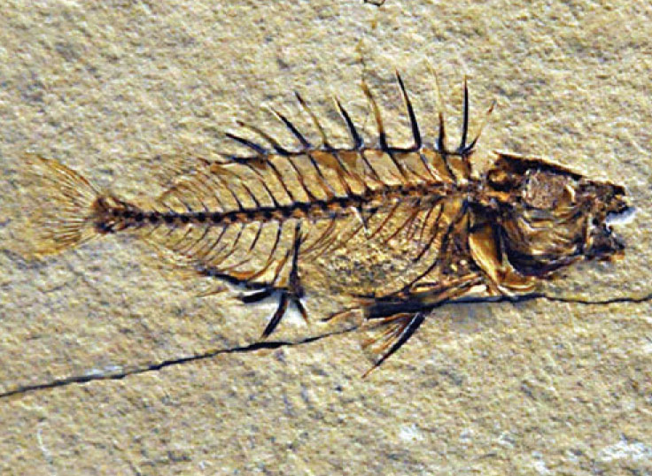 A fossil rabbitfish,   Ruffoichthys spinosus