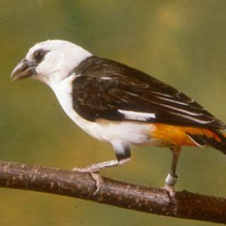 White-headed buffalo weaver © Chuck Dresner, Saint Louis Zoo