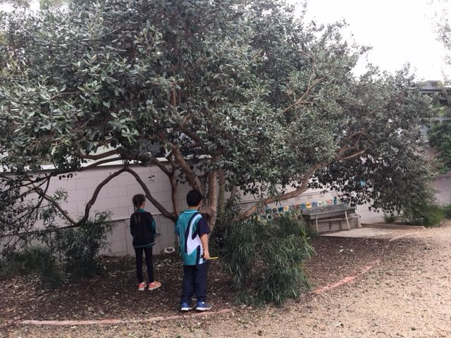feijoa tree.jpg