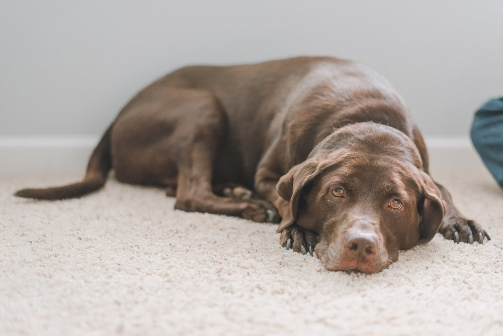 chocolate lab laying on floor