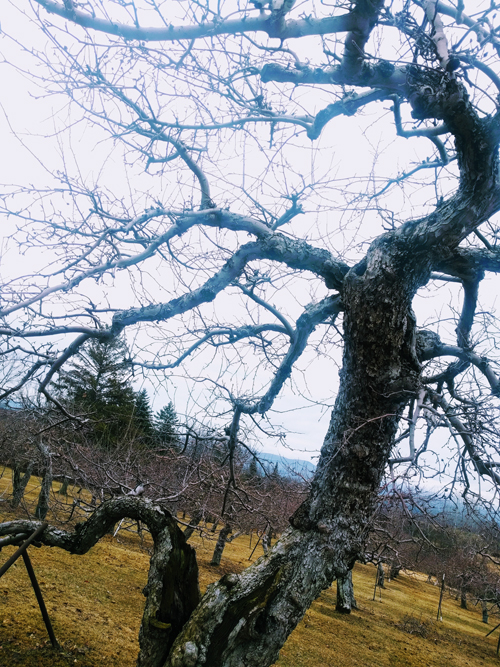 The oldest, grandest apple tree in the Windfall Orchard is a grandfather Rhode Island Greening planted in 1918. Given the care and attention of Brad Koehler and long time Cornwall, Vermont resident Art Blaise, the acreage is now home to 80 varieties of heritage apples.
