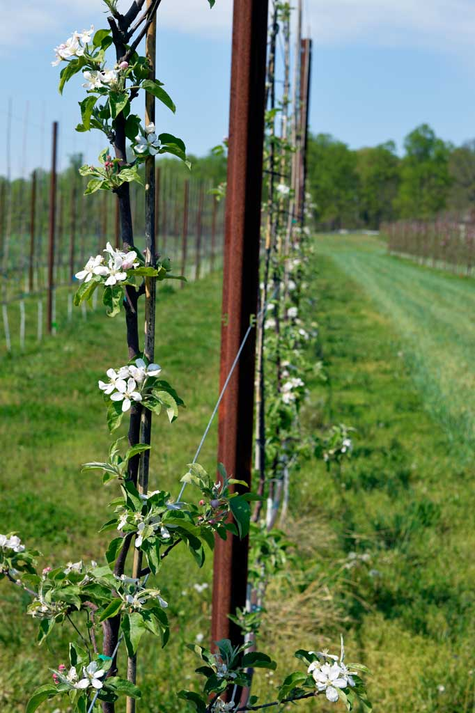 An apple trellis in blossom at Castle Hill