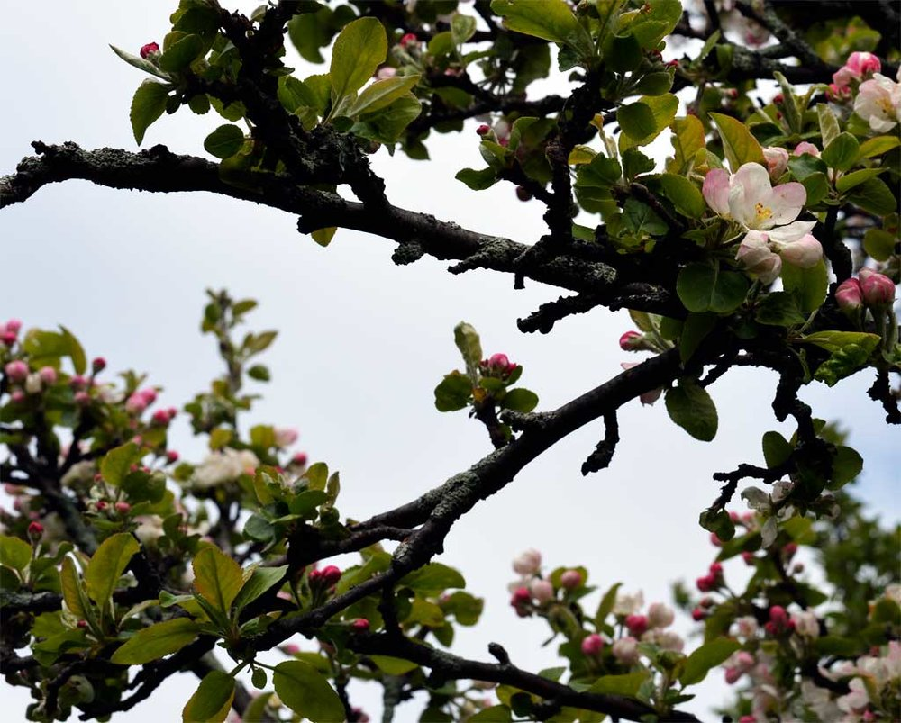 A wild apple tree in bloom in the Finger Lakes