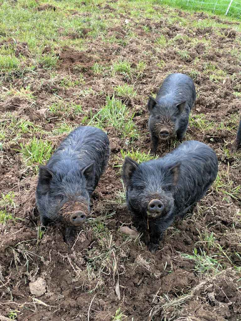 South Hill uses American Guinea Hogs—who overturn the earth and feed on the roots of small plants—for weed control in the orchard