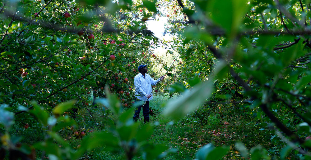Farnum Hill waits for the cider fruit to full ripen and drop before harvest to ensure that the fruit is used at its peak. Our great thanks to food and wine writer Peggy Haine for providing our Farnum Hill cider pairings.
