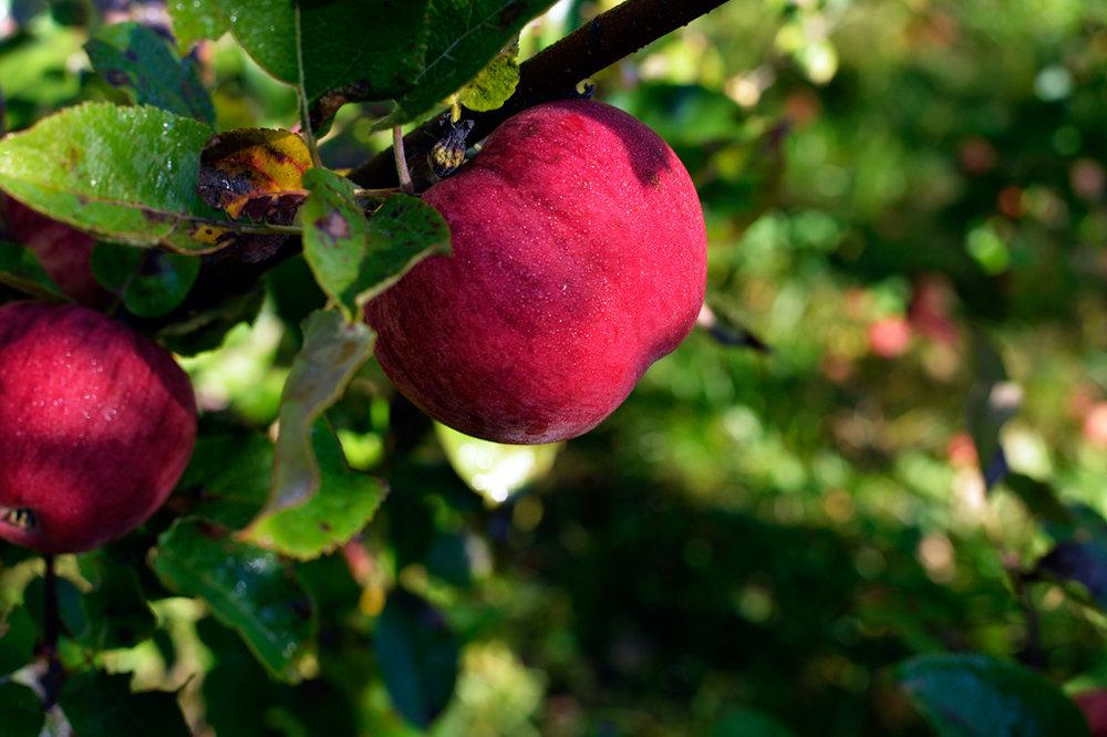 Ripe and ready Ellis Bitter cider apple awaiting harvest