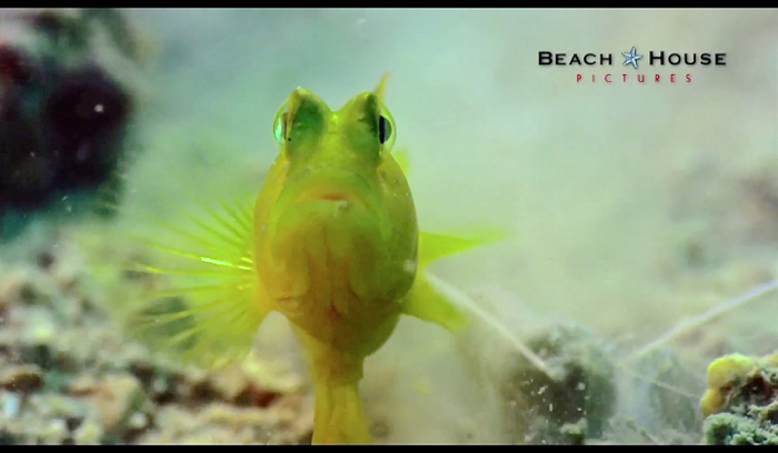 A still taken from Wild City - Islands of a yellow watchman goby, featured in the programme.
