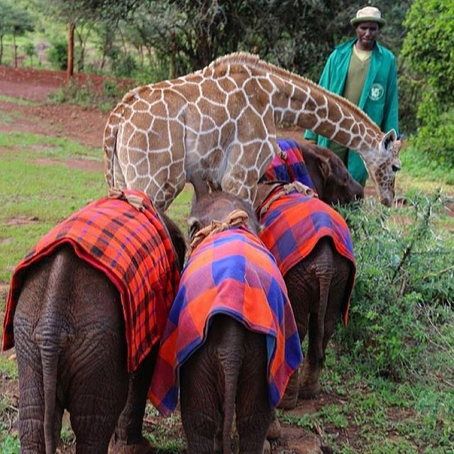 Look at these orphan baby elephants hanging out with their new giraffe friend at the @dswt ! (Image via @dswt)