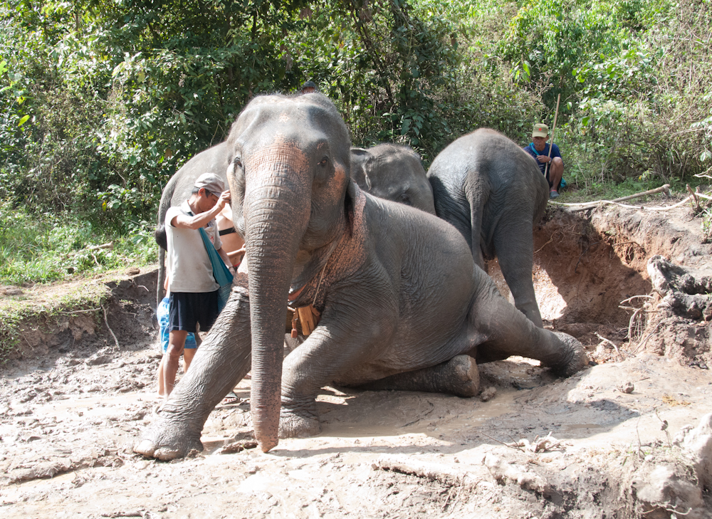 Getting ready for a mud rub down.  Notice Eli has already started there behind the mahout!