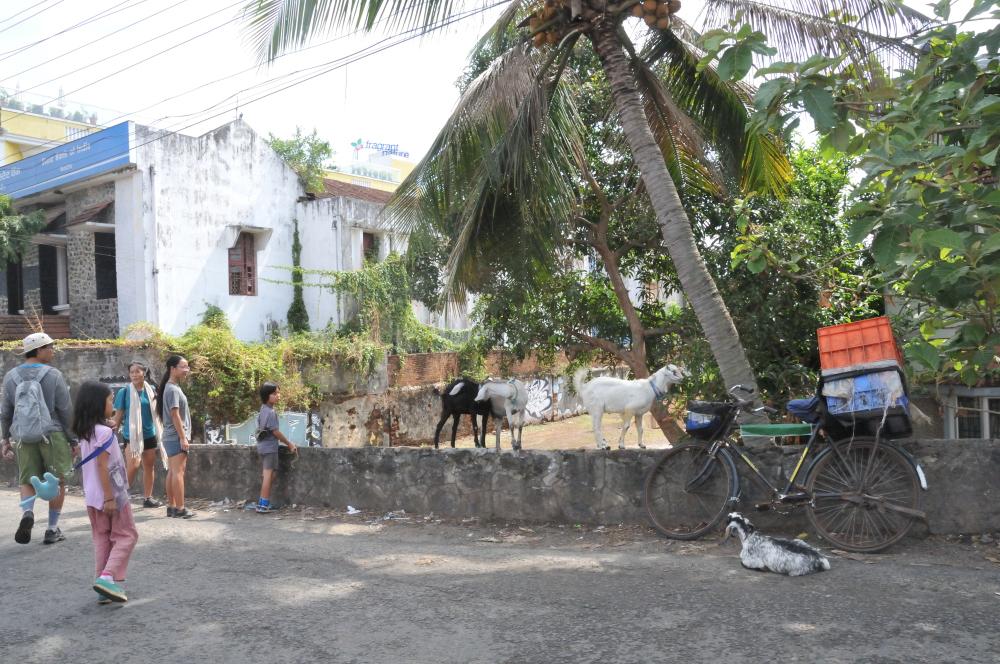 Free roaming goats