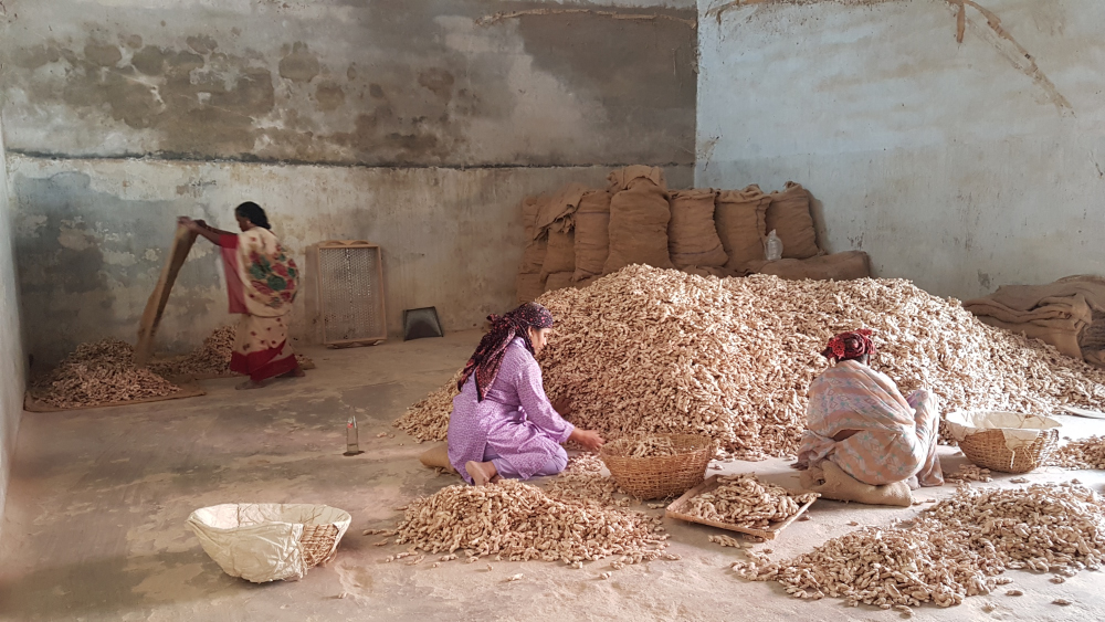 A women's co-op - sorting out dried ginger.
