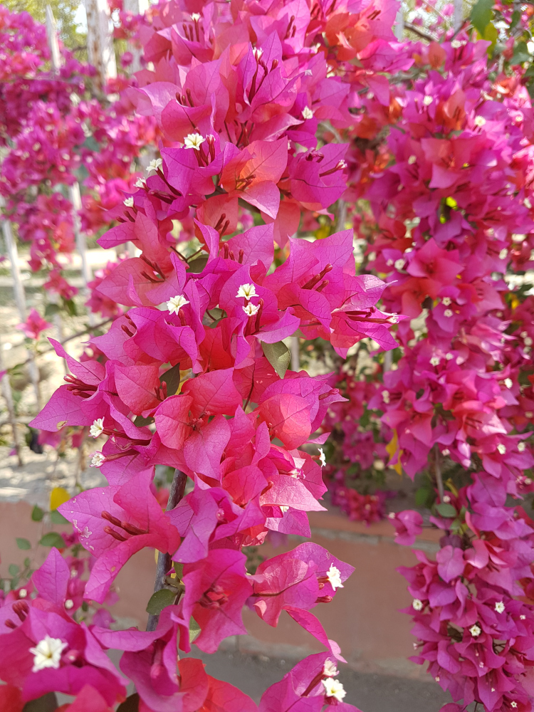 Our walk to the Taj was pretty basic except for the occasional bloom of these beauties.