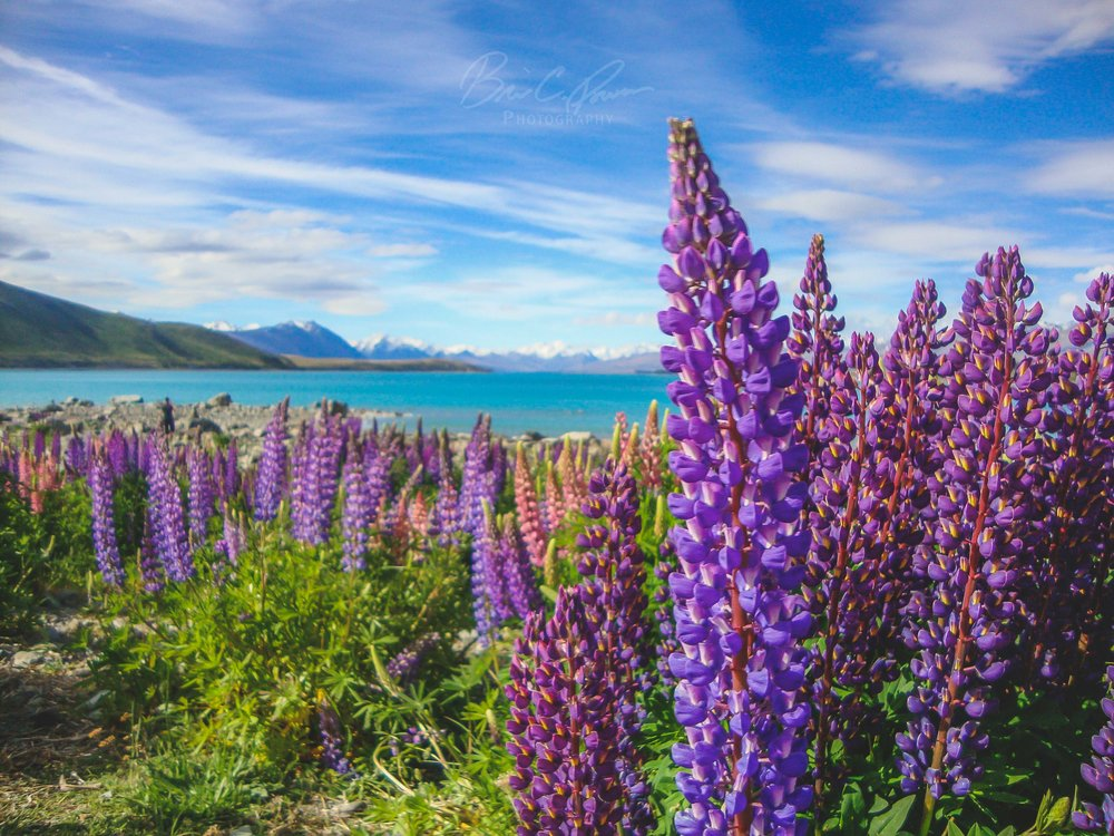Lupins on Lake Tekapo, South Island, New Zealand