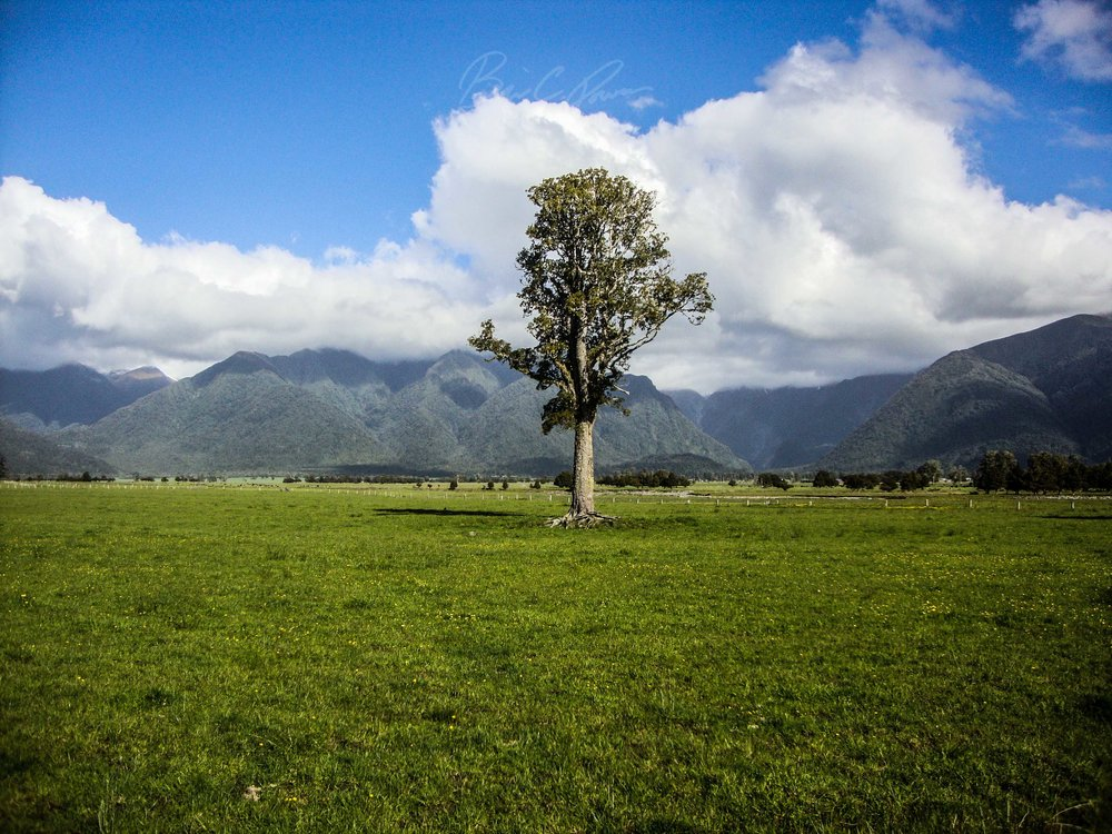 Lonely Tree near Lake Matheson.
