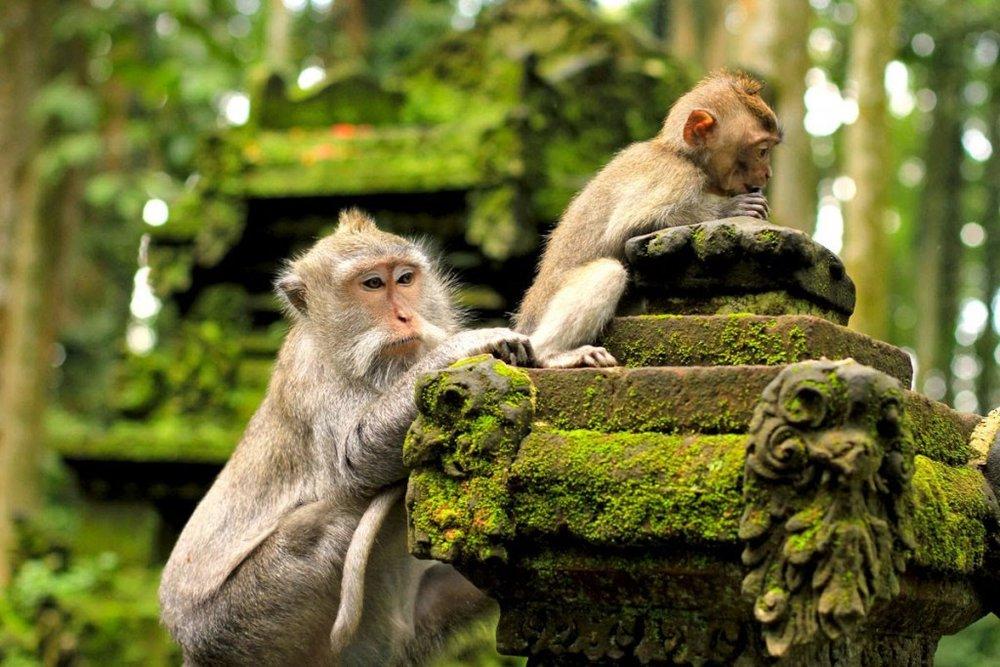 monyet-sangeh-bali.jpg