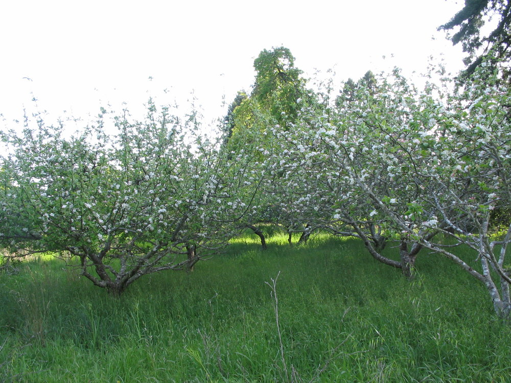 Orchard in bloom.JPG