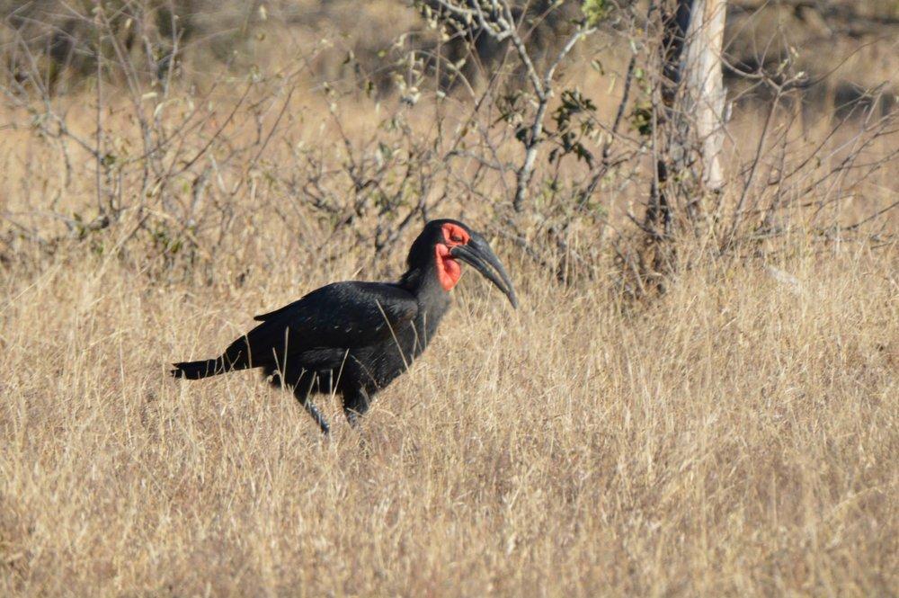 Ground Hornbill.jpg