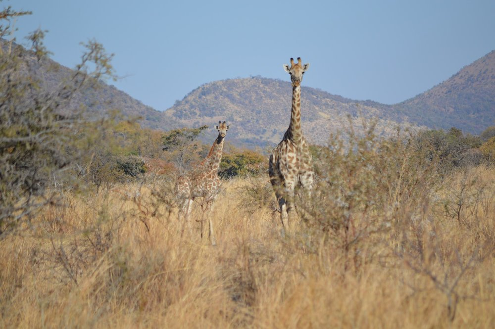 Giraffe Mamma.JPG