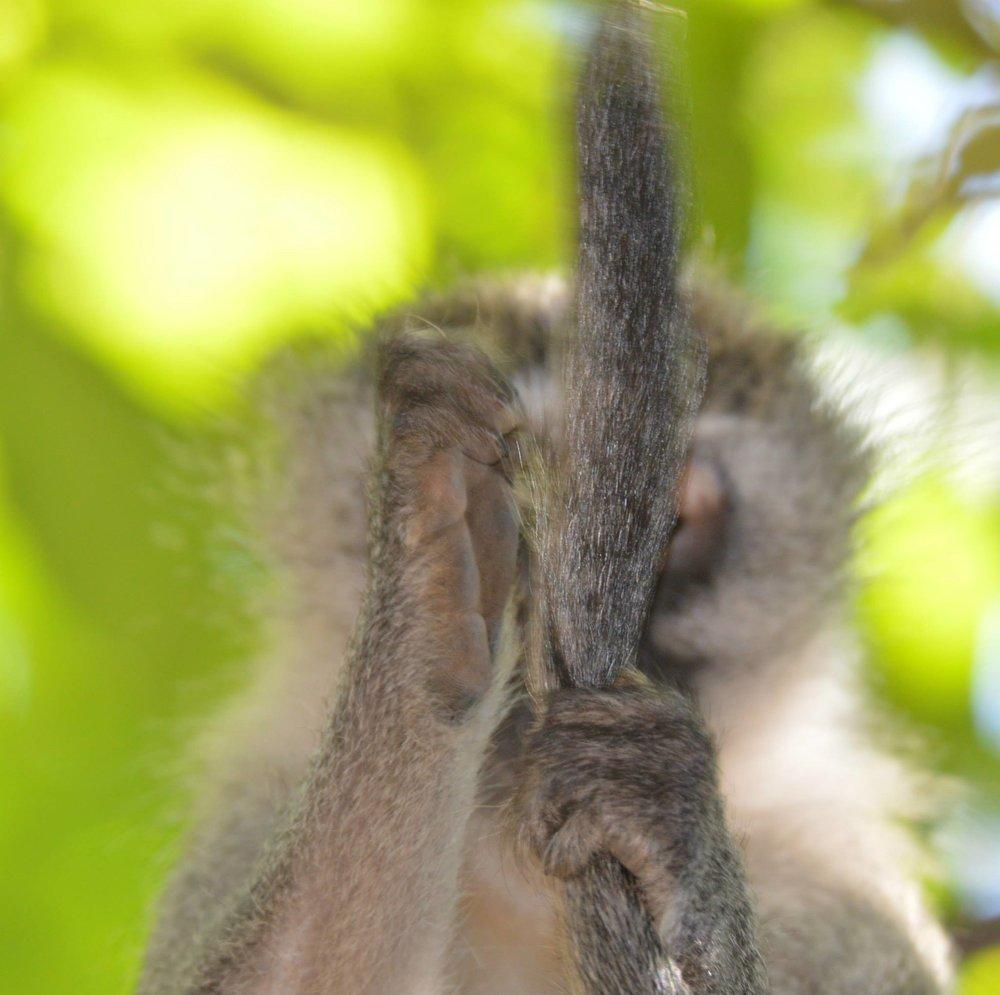 Monkey Tail.jpg