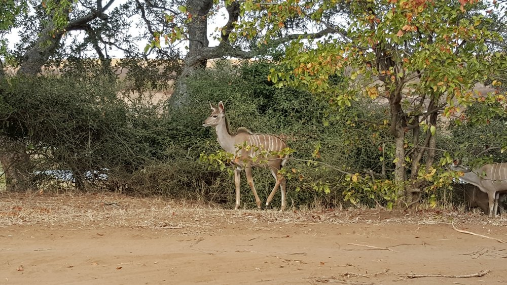 Kudu Herd.jpg
