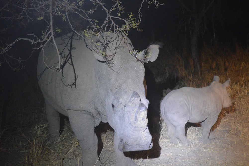 Rhino Baby Night.JPG
