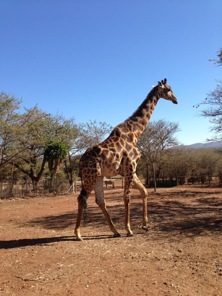 Gitta Giraffe.jpg