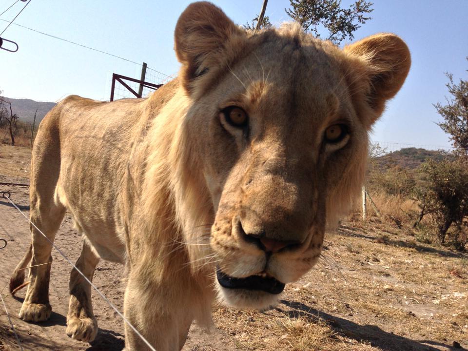 Juvenile Lion.jpg