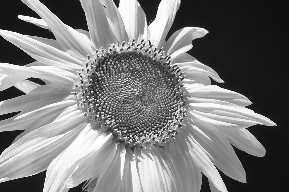 Sunflower, Hamilton, New York