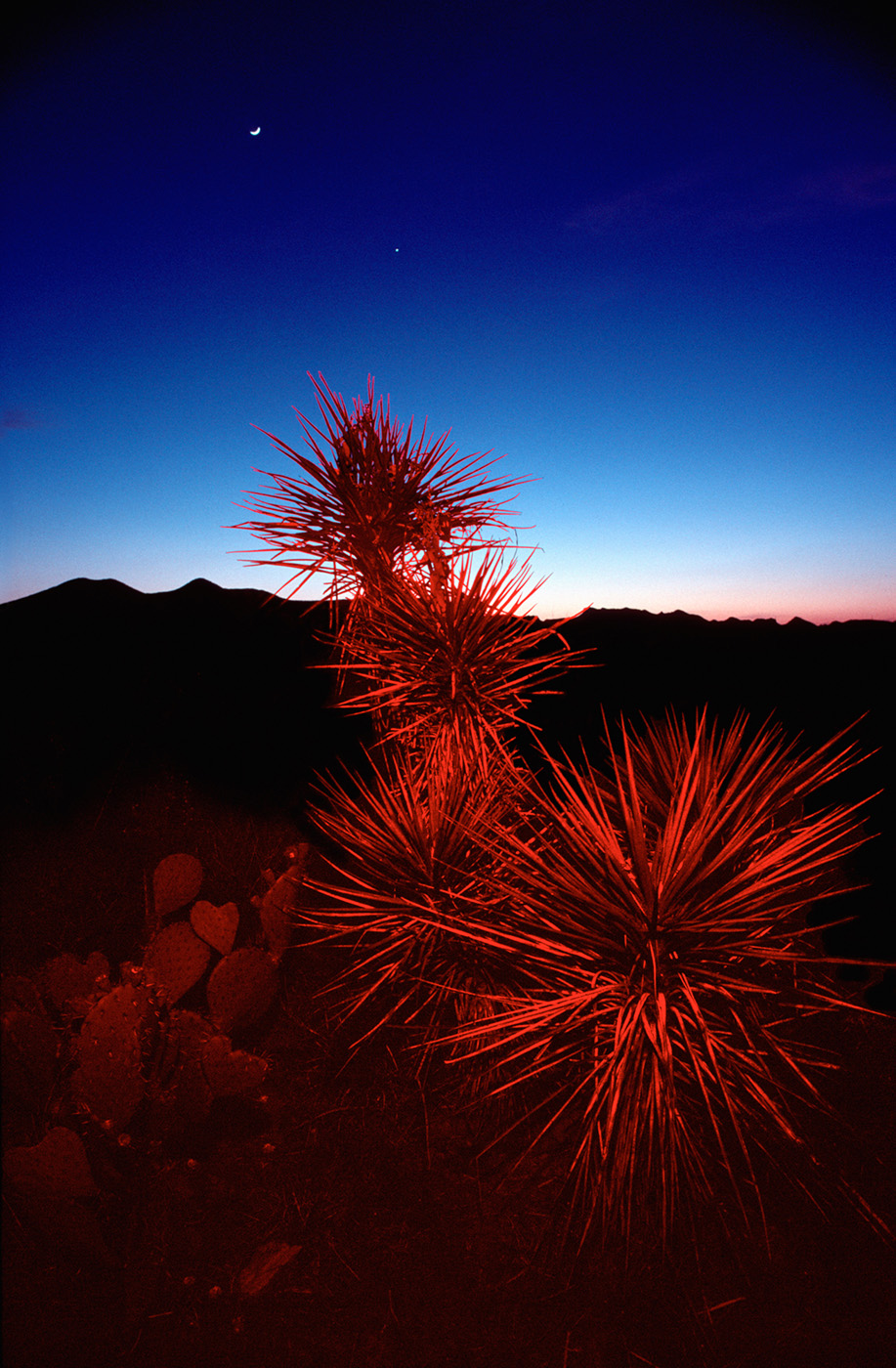 Red Cactus, Big Bend, Texas