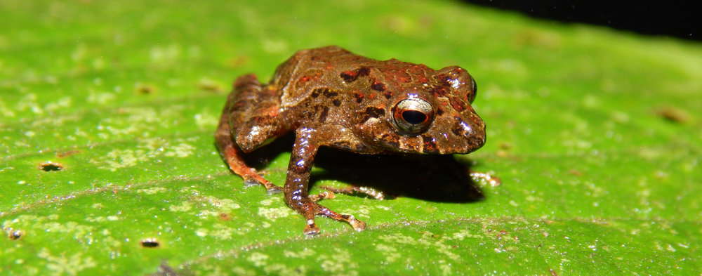 Pristimantis sp - potential new species of Rain Frog .jpg