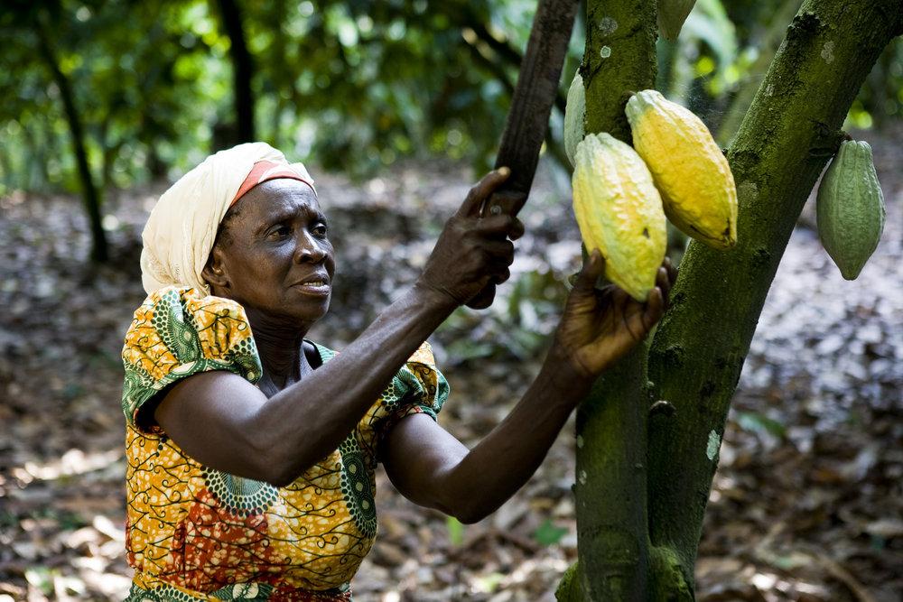 A cocoa farmer in ghana