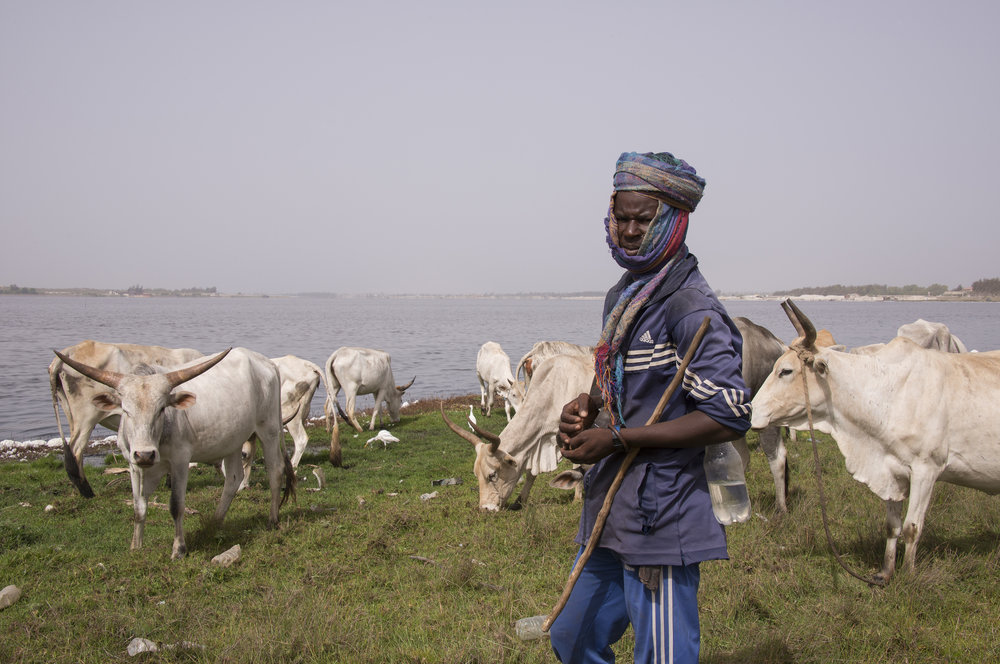 A shepherd with cows in Senegal. photo:  Salvador Aznar/shutterstock