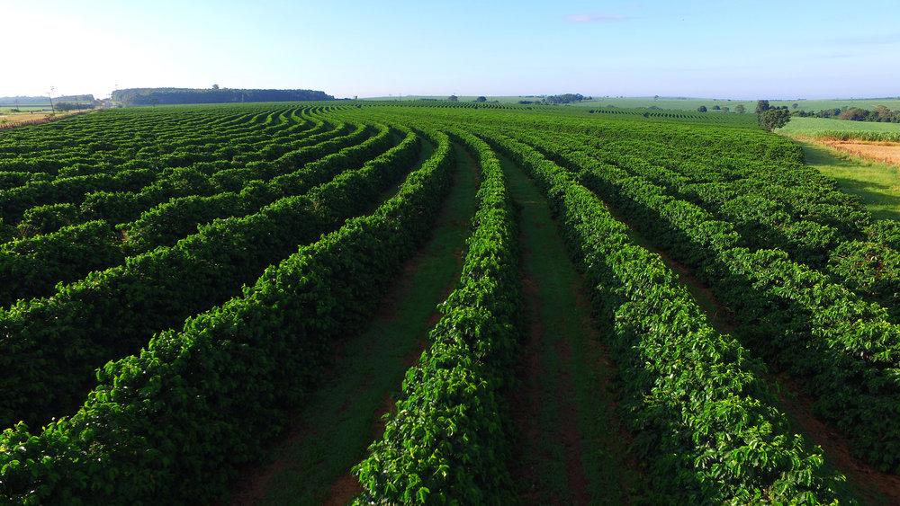 a coffee plantation in brazil. photo:Paulo Vilela/shutterstock