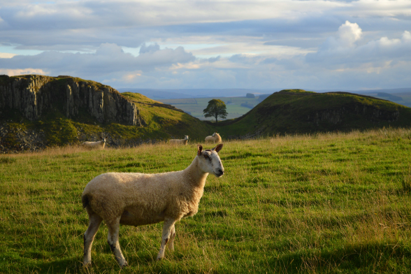 Ram on Hadrian's Wall Hike