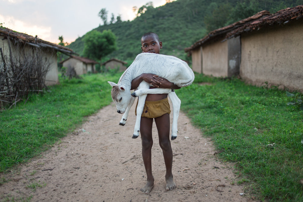 A cowherd's son carries home a just-born calf, in the village of Amelia.