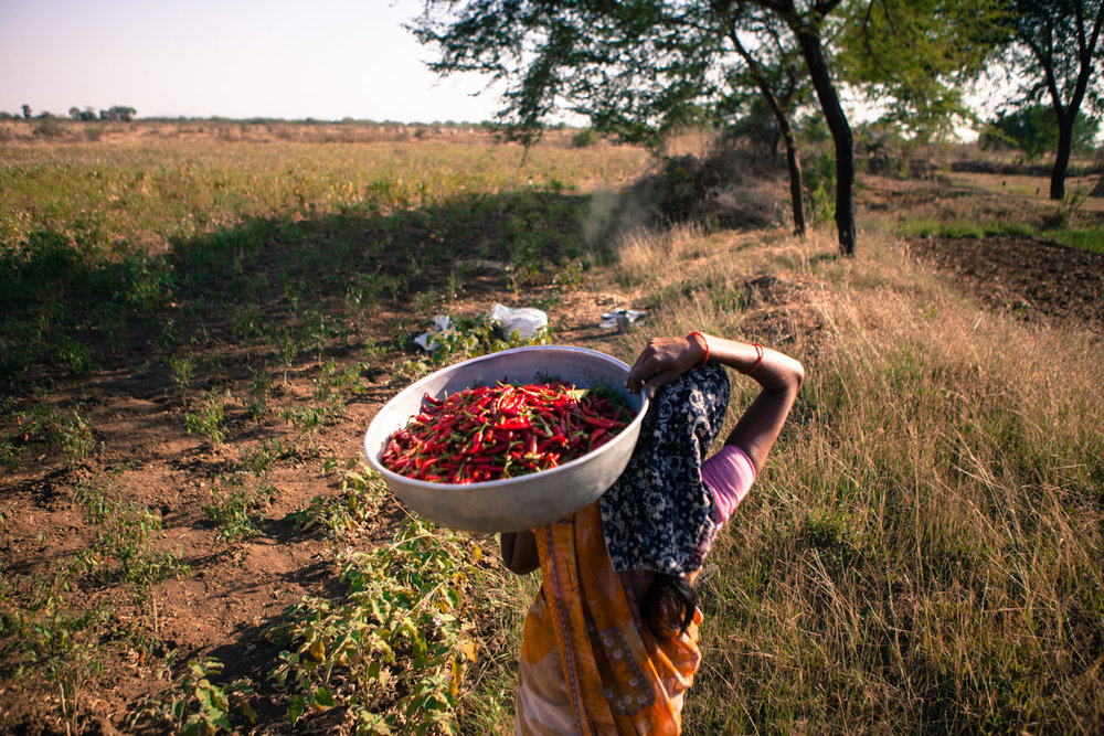 Harvesting chillies in Rohana village, Amravati district. The village is agriculturally rich and harvests up to three crops a year.