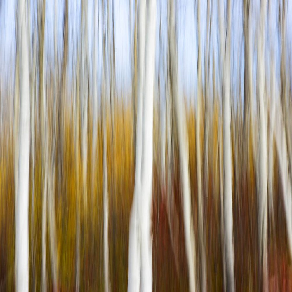 Birch trees in full colour near Dugald, Manitoba. As trees grow they often go unnoticed. Something that starts about the size of your hand grows up to be a giant. Then passes that along. We all grow up, either reaching to the sky as a birch tree or falling to the ground as a seed. #exploremb #justgoshoot #photooftheday #abstract #instagood #explorecanada #nature #tree #fall #art #photography #follow #lonelyplanet #exploretocreate #friday #nikonnofilter #beautiful #picoftheday #landscape #nature